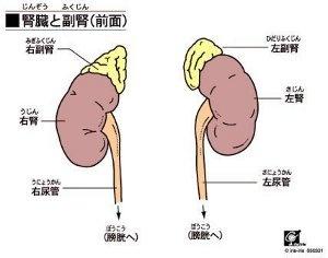 adrenal-glands